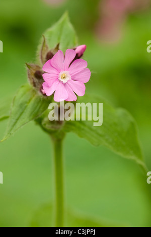 Red campion (Silene dioica), Cheshire, UK. - Stock Photo