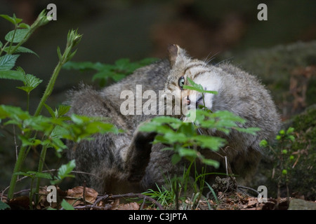 European wildcat (Felis silvestris silvestris) with young, NP Bayerischer Wald, Bavarian Forest National Park, Germany - Stock Photo