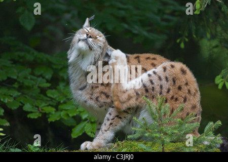 Luchs, Felis lynx, Lynx, NP Bayerischer Wald, Bavarian Forest National Park - Stock Photo