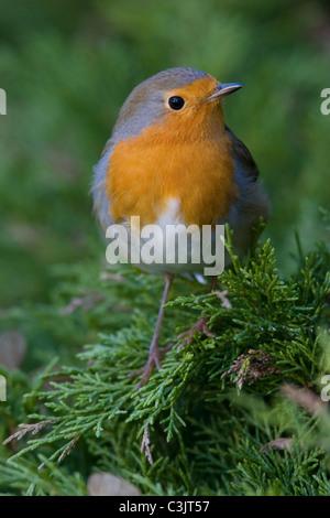Rotkelchen, Erithacus rubecula, European robin - Stock Photo