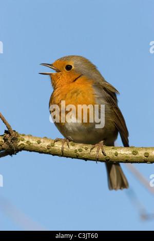 Rotkelchen, singendes, Erithacus rubecula, European robin, singing - Stock Photo