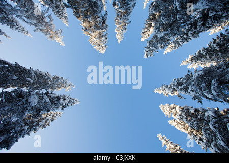 View of snow covered spruce ( Picea Abies ) treetops in the forest , Finland - Stock Photo