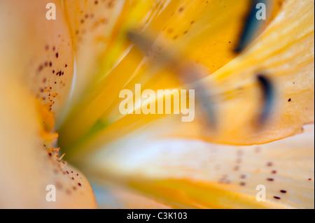Lilie-Lilium candidum,close-up - Stock Photo