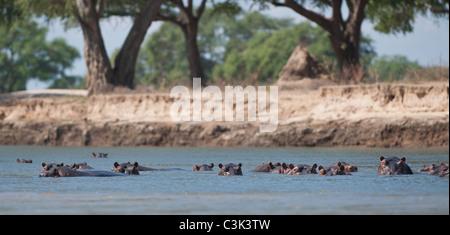A group of hippopotamus cool down in the Zambezi river - Stock Photo