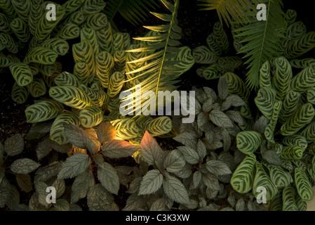 prayer plants or maranta leuconeura and palm plants or palmae arecaceae covering ground - Stock Photo
