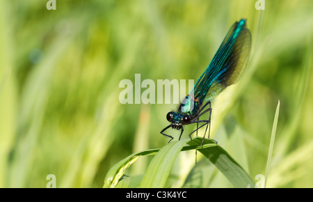 Banded Demoiselle  Calopteryx splendens  Male - Stock Photo