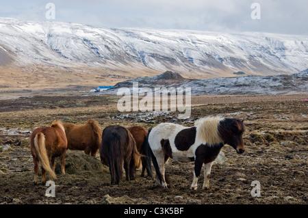 Horses in field, Hvalfjörður, Iceland - Stock Photo