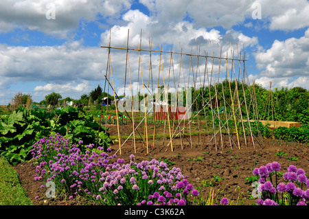 Allotment in Aylesbury on a sunny day - Stock Photo