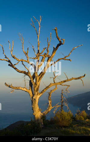 Morning light on tree in the Ventana Wilderness, above the ocean, Los Padres National Forest, Big Sur coast, California - Stock Photo