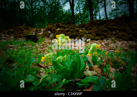 Cowslip growing in forest - Stock Photo