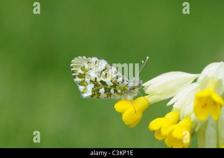 UK Butterfly, Orange tip, 'anthocharis cardamines' female resting on flower, Norfolk, England - Stock Photo