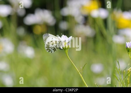 UK Butterfly, Orange tip, 'anthocharis cardamines' egg laying on ladys smock, Norfolk, England - Stock Photo