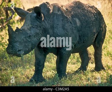 White rhino Ceratotherium simum covered in mud Kruger South Africa - Stock Photo