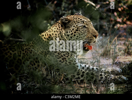 Leopard Panthera pardus Mala Mala Kruger South Africa - Stock Photo