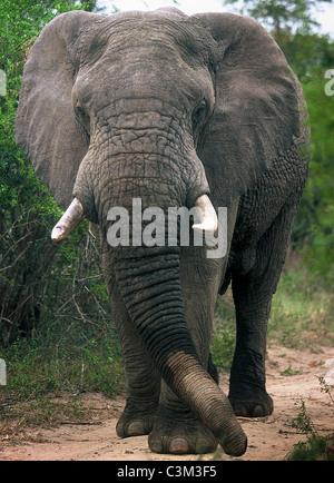 Bull elephant Loxodonta africana Mala Mala Kruger South Africa - Stock Photo