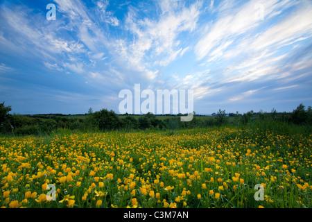 Field of meadow buttercups (ranunculus acris), County Sligo, Ireland. - Stock Photo