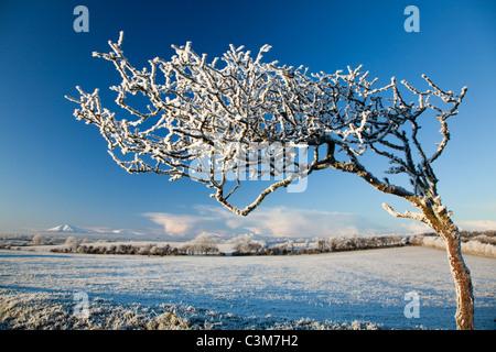 Wind-bent hawthorn tree covered by winter hoar frost, County Sligo, Ireland. - Stock Photo