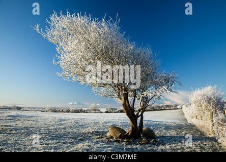 Hawthorn tree covered by winter hoar frost, County Sligo, Ireland. - Stock Photo