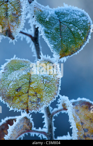 Frosted leaves in winter, County Sligo, Ireland. - Stock Photo