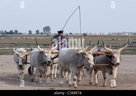 Hungary, Kalocsa. Traditional Hungarian ranch. Hungarian gray cattle, unique local breed. - Stock Photo