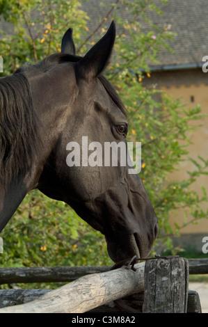 Hungary, Kalocsa, Puszta region. Traditional Hungarian horse ranch at Bakodpuszta Equestrian Center. Black mare. - Stock Photo