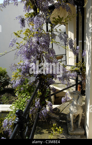 A flowering Wisteria and a dog statue on the elegant cast iron balcony of a Victorian town house in Brighton. - Stock Photo