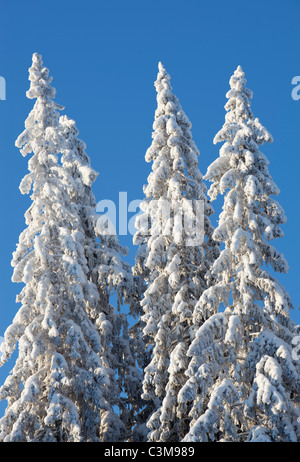 View of snow covered spruce ( Picea Abies ) trees , Finland - Stock Photo