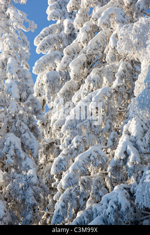 View of snow covered spruce ( Picea Abies ) tree branches , Finland - Stock Photo