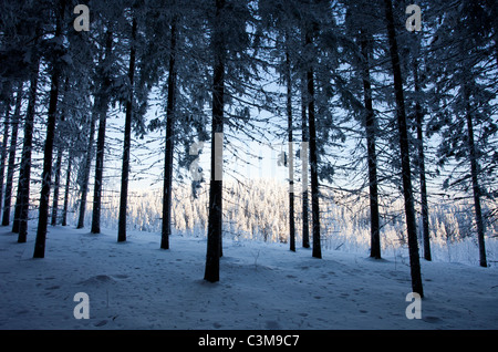 View from snow covered spruce ( Picea Abies ) forest , Finland - Stock Photo