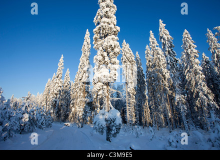 Snow covered spruce ( picea abies ) trees in the forest , Finland - Stock Photo