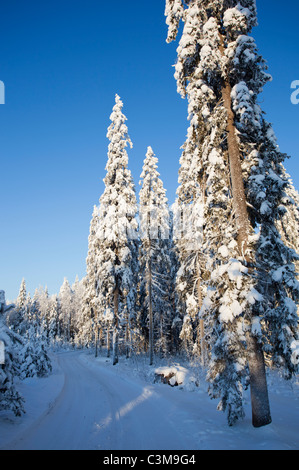 Forest road and snow covered spruce ( picea abies ) trees , Finland - Stock Photo