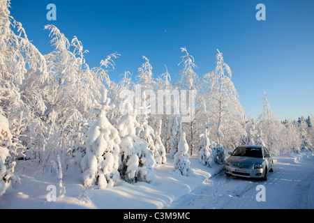 Snow covered young birch ( betula ) trees , Finland - Stock Photo