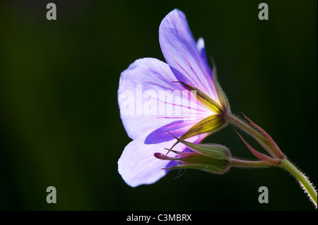 Geranium Orion. Cranesbill flower and bud. Spot metered and lit up by sunlight - Stock Photo