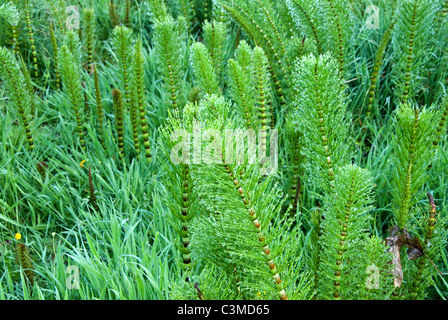 Marestail - Stock Photo