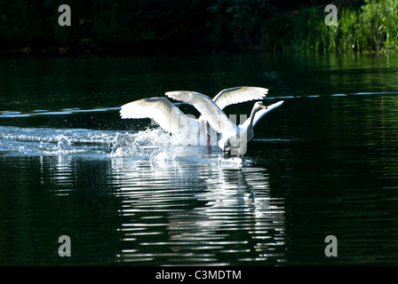 Two mute swans fighting - Stock Photo