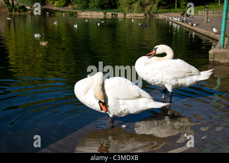Two mute swans preening feathers - Stock Photo