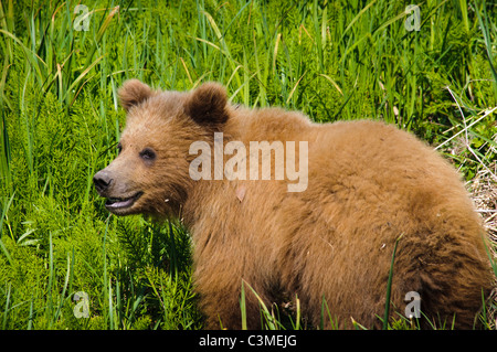 The profile of a yearling femal Alaskan Brown Bear in Captain Cook State Park. - Stock Photo