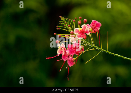 Fresh raindrops dripping off Tropical Red Hibiscus Flowers, Fiji - Stock Photo