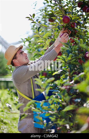 Croatia Baranja Young Man Picking Apples From An Apple Orchard