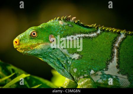 Crested Iguana, Kula Eco Park, Sigatoka Coral Coast,, Viti Levu, Fiji - Stock Photo
