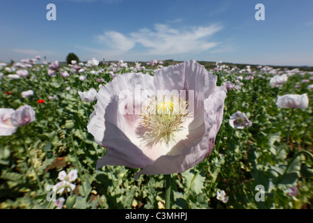 Austria, Lower Austria, Weinviertel, View of opium poppy field - Stock Photo