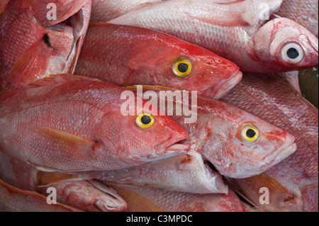 Red Snapper (Lutjanus campechanus). Dead individuals for sale on a market stall. - Stock Photo