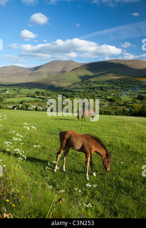 Horse and foal in the Glen of Aherlow, beneath the Galtee Mountains, County Tipperary, Ireland. - Stock Photo