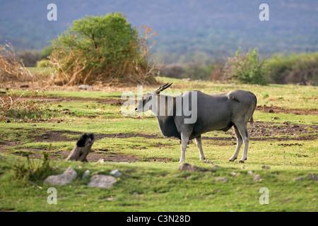 South Africa, Near Zeerust, Madikwe National Park. Eland, Taurotragus oryx. - Stock Photo