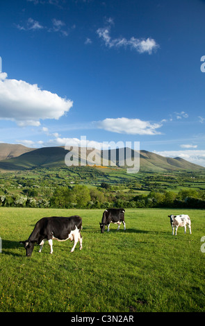 Cows grazing in the Glen of Aherlow, beneath the Galtee Mountains, County Tipperary, Ireland. - Stock Photo