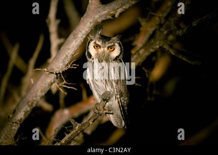 South Africa, Near Zeerust, Madikwe National Park. Southern White-faced Scops-Owl, Ptilopsis granti at night. - Stock Photo