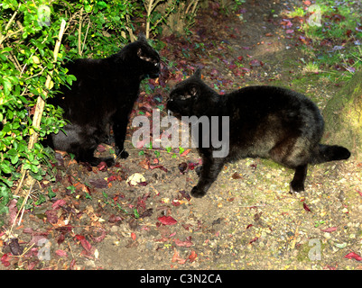 Two Black Cats Having A Cat Fight In The Garden - Stock Photo