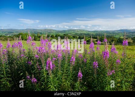 Rosebay Willowherb (Chamerion angustifolium) beneath the Sperrin Mountains, County Tyrone, Northern Ireland.
