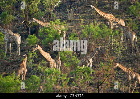 South Africa, near Rustenburg, Pilanesberg National Park. Herd of graffes, Giraffa camelopardalis. - Stock Photo