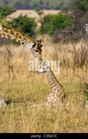 South Africa, near Rustenburg, Pilanesberg National Park. Giraffes, Giraffa camelopardalis. Mother and young. - Stock Photo